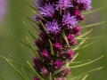Thickspike gayfeather (Liatris pycnostachya) in the Tallgrass Prairie National Preserve in the Flint Hills in central Kansas