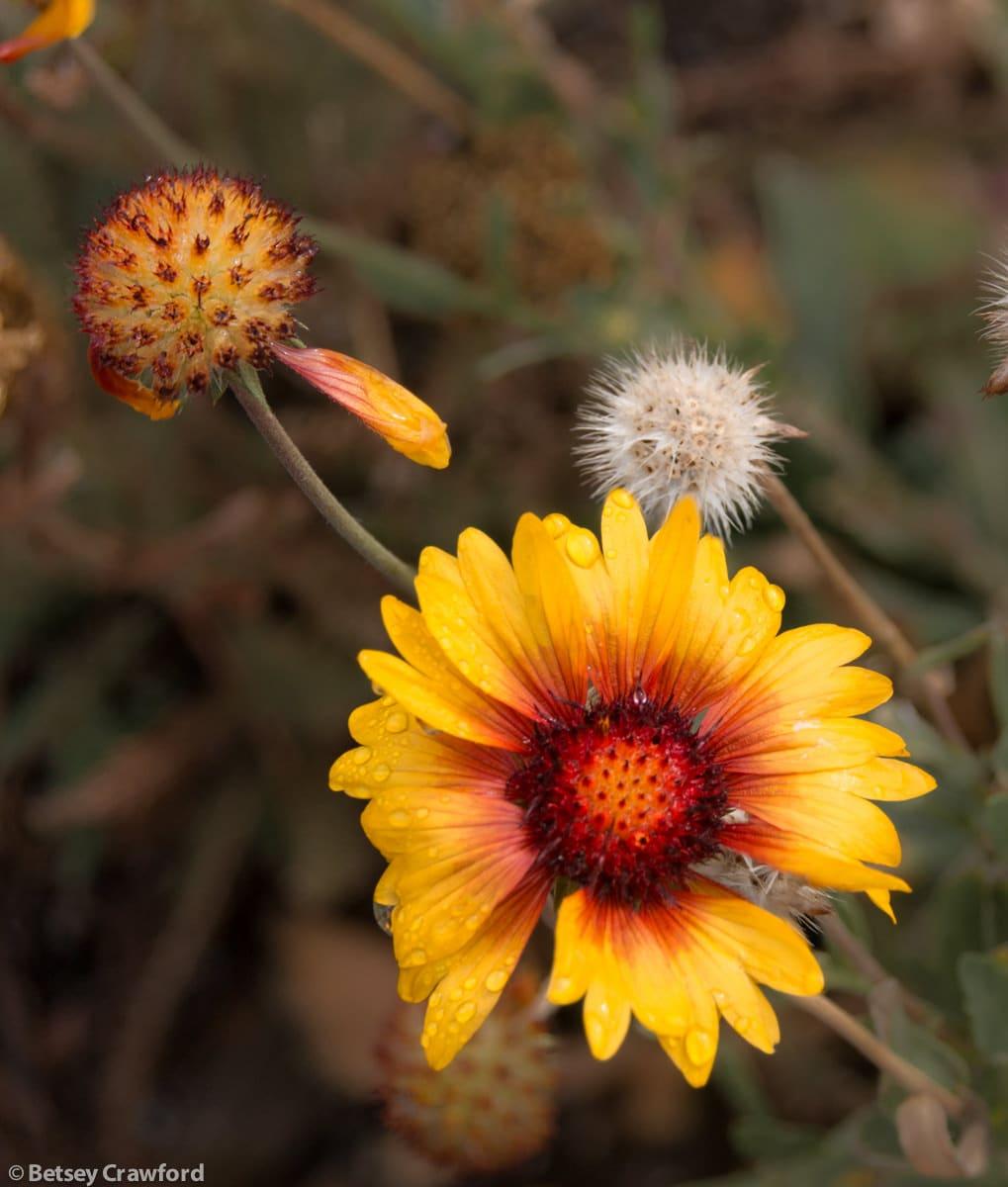 Blanket flower (Gaillardia aristata) Coeur d'Alene, Idaho