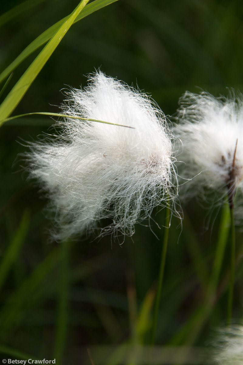 Cotton grass (Eriophorum angustifolium) at the Wynn Nature Center in Homer, Alaska