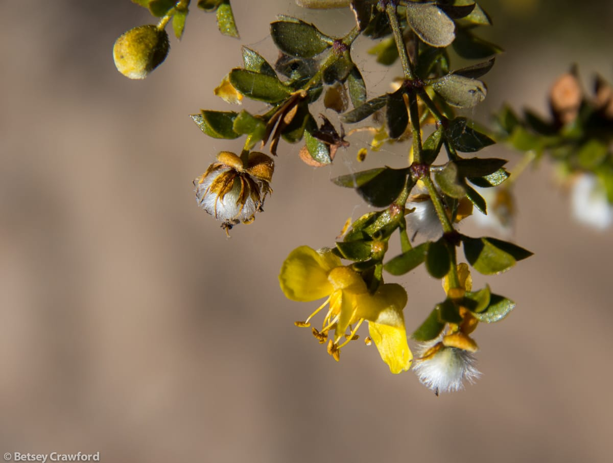 Creosote bush (Larrea tridentata) in the Anza Borrego Desert, California