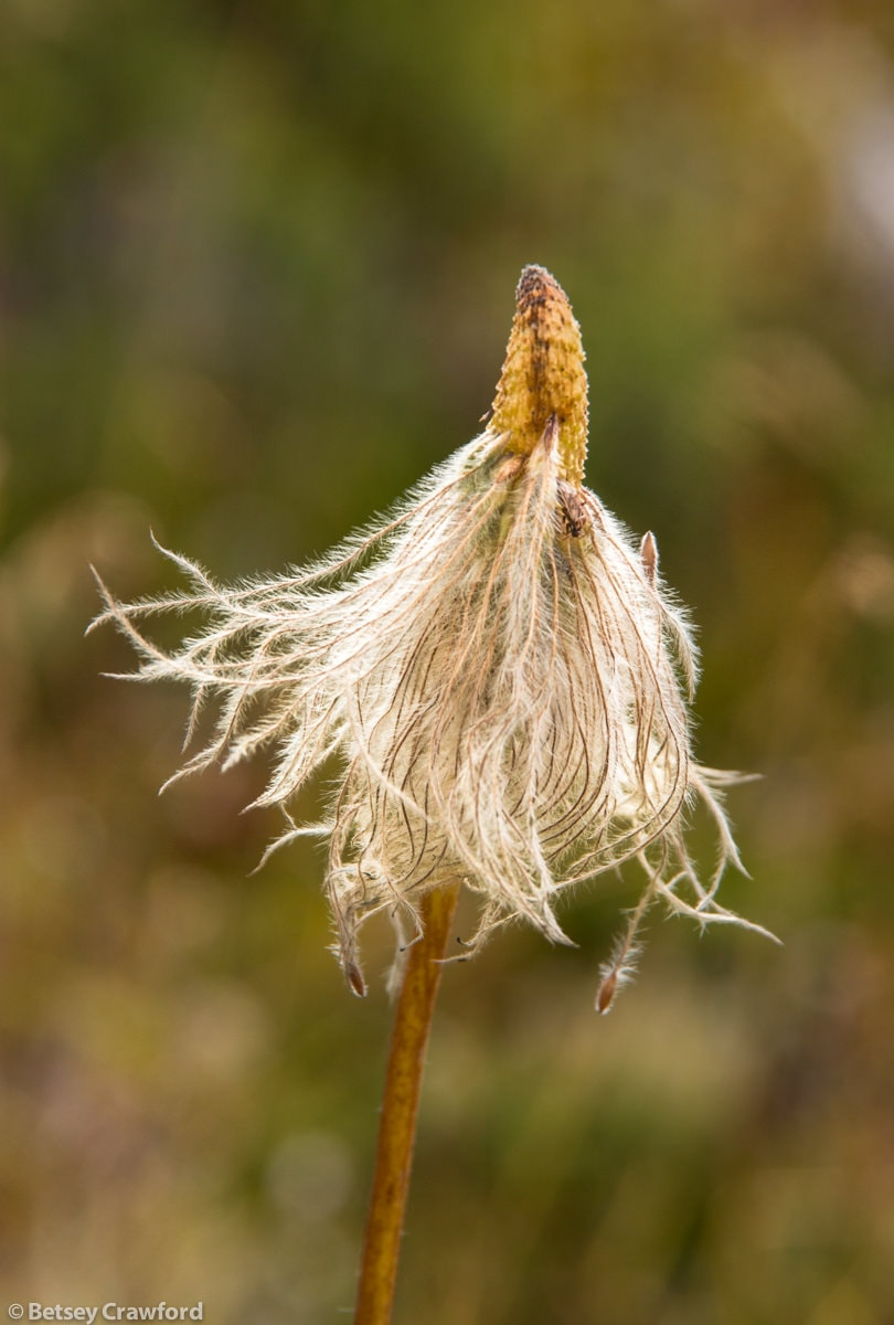 Seedhead at Meadows in the Sky, Revelstoke National Park, Revelstoke, British Columbia