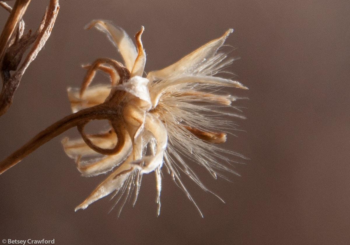 Seedhead, Mt. Shasta, California