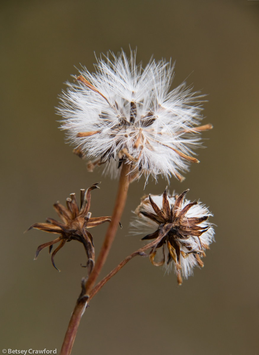 Siberian aster seedheads (Aster sibericus) in Denali National Park, Alaska