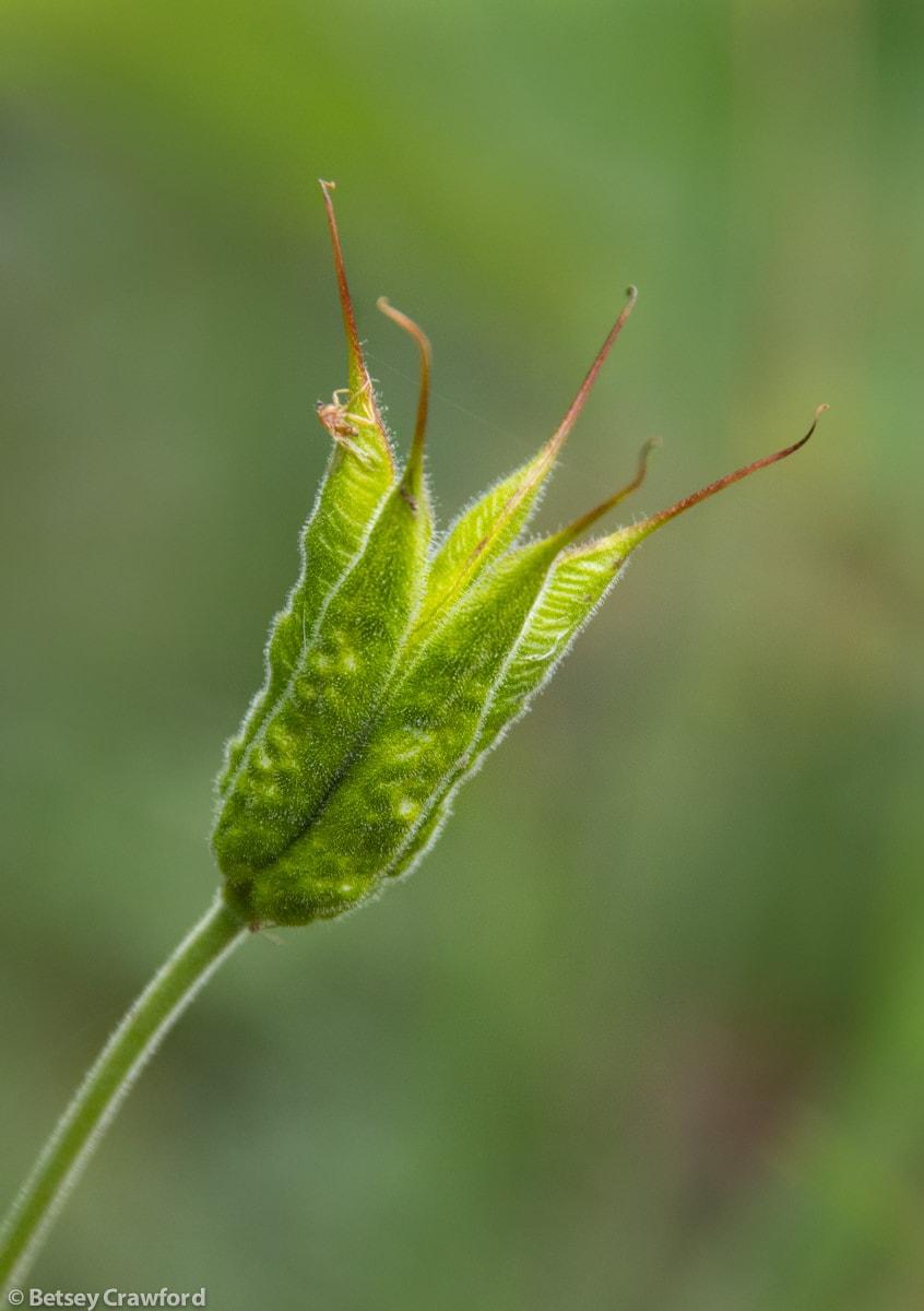 Western columbine seedhead (Aquilegia formosa) in Seward, Alaska