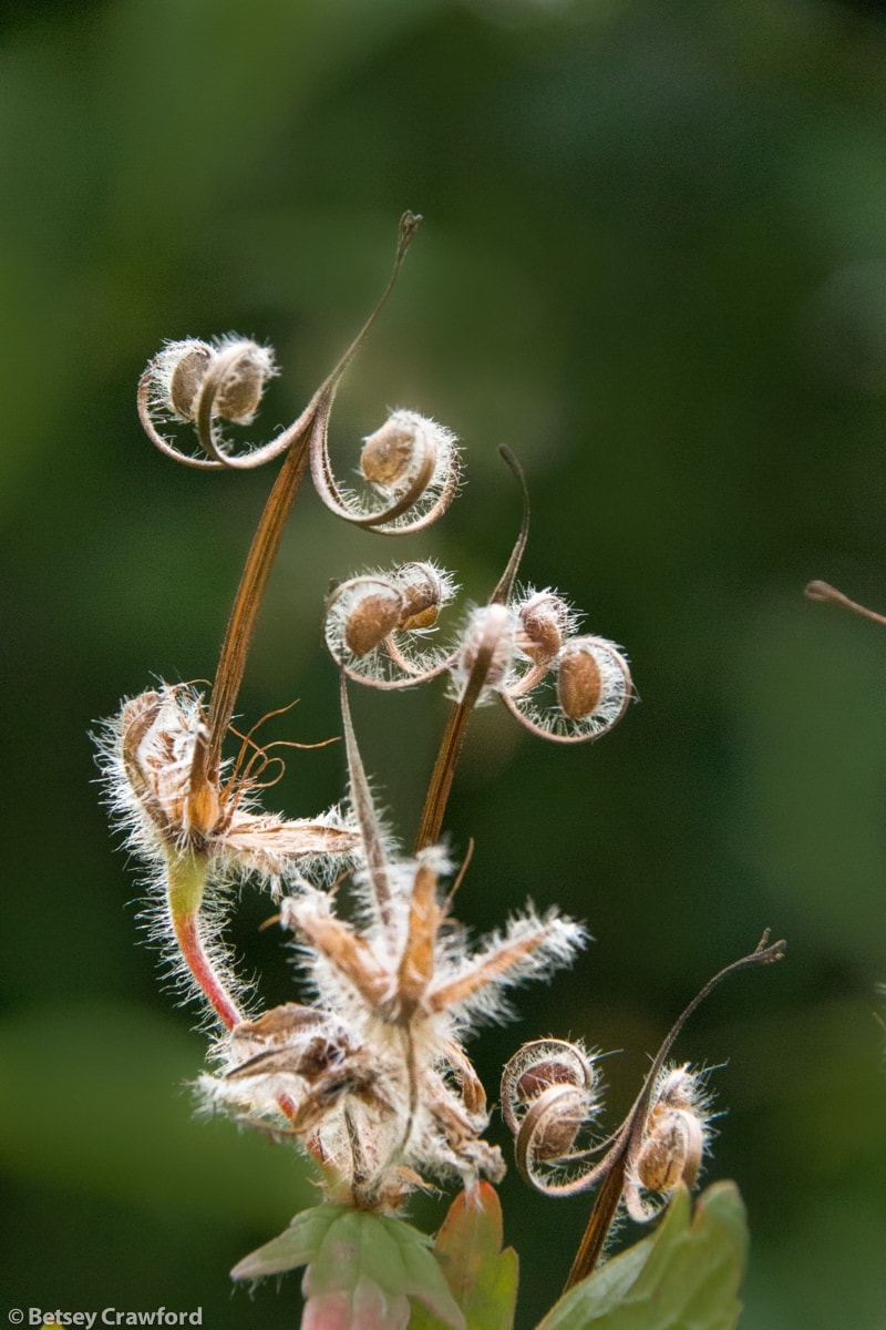 Wild geranium seedheads (Geranium erianthum) at Hatchers Pass, Alaska