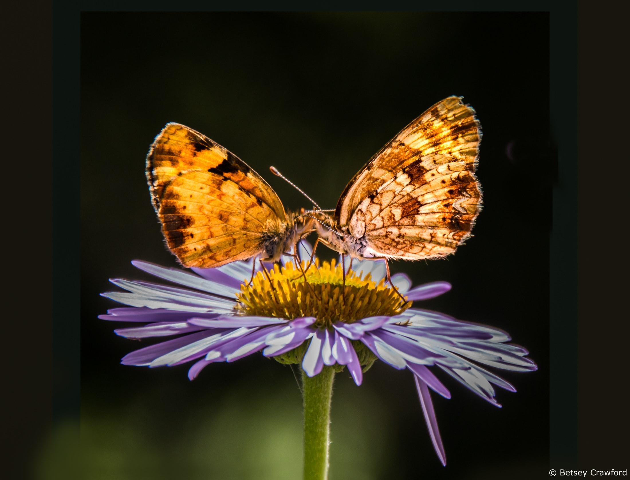 Tall purple fleabane (Erigeron peregrinus) with butterflies in Waterton Lakes National Park, Alberta, Canada