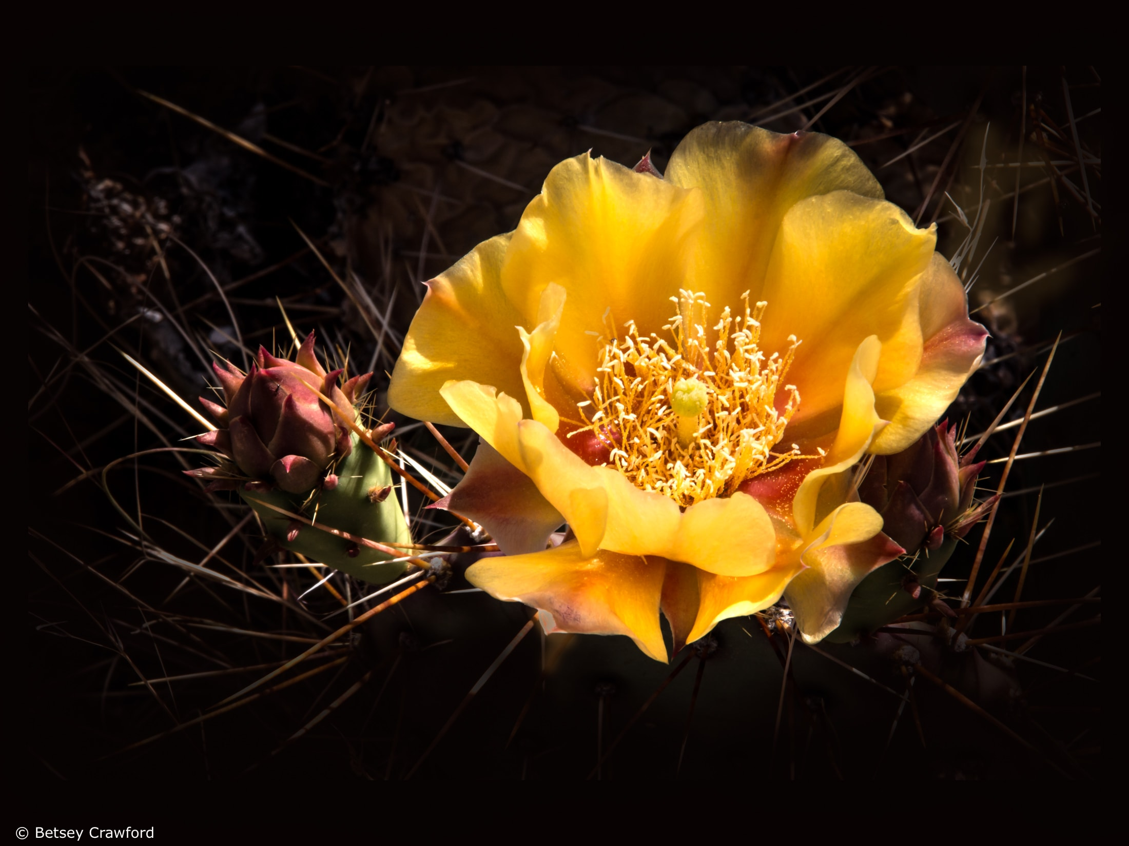 Desert prickly pear cactus (Opuntia phaeacantha) Corona Arch trail in Moab, Utah