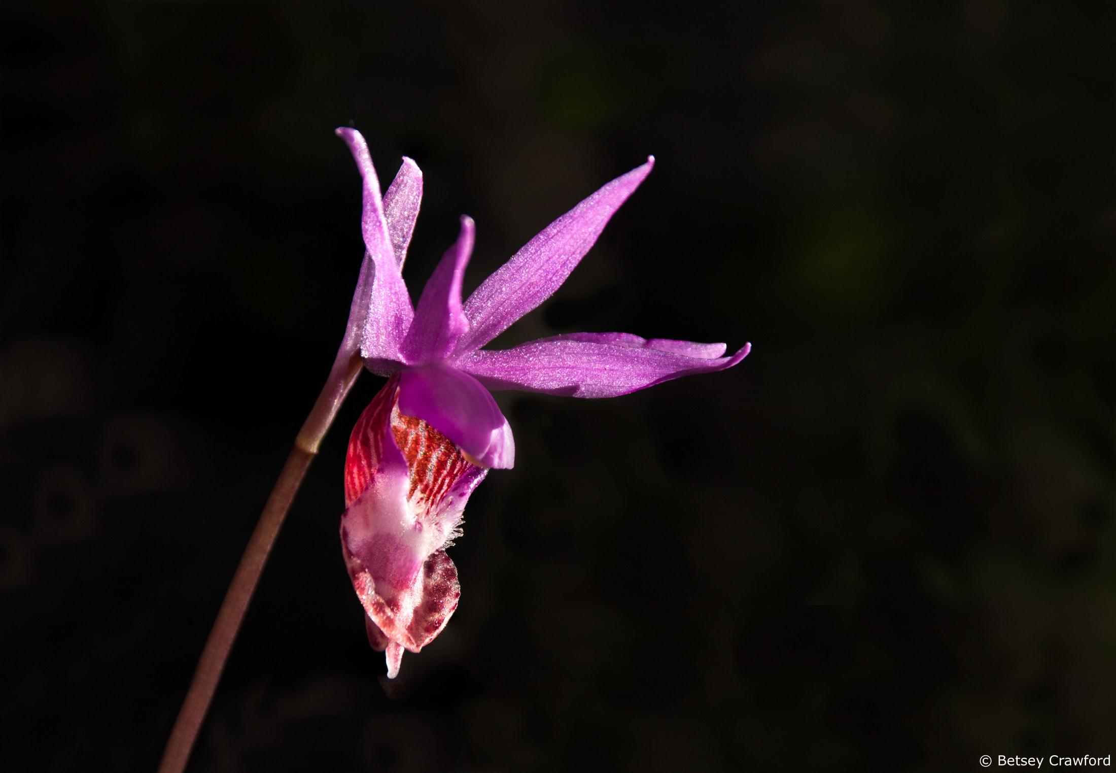 Fairy slipper orchid (Calypso balboa) in Mount Tamalpais State Park, Mill Valley, California