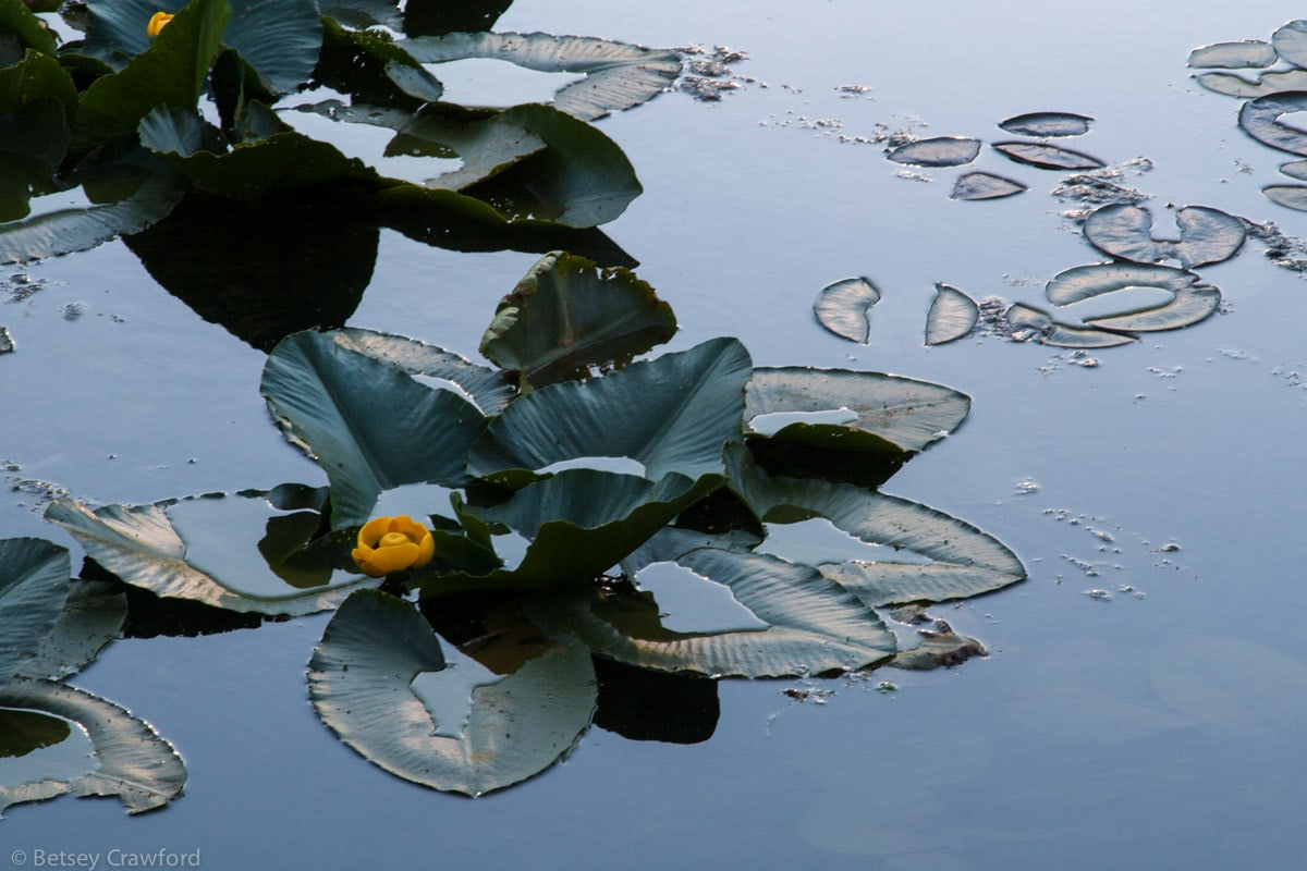 Yellow pond lily (Nuphar polysepalum) in Fernan Lake, Coeur d'Alene, Idaho