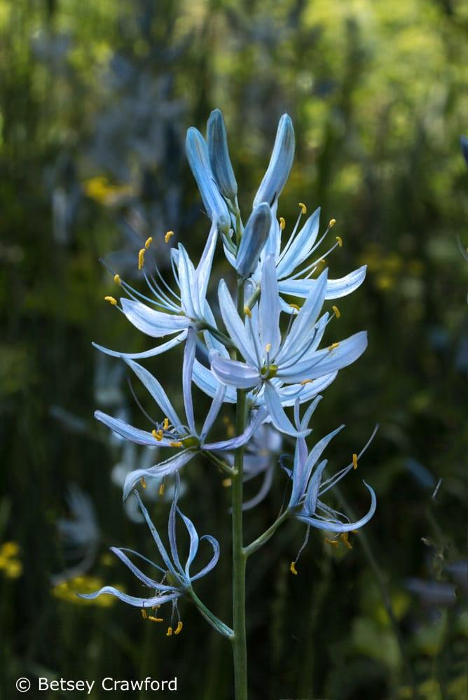 Camas lily (Camassia quamash) in Coeur d'Alene, Idaho