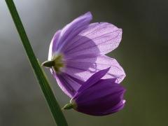 Grass widow (Olysinium douglasii) Tubbs Hill, Coeur d'Alene, Idaho