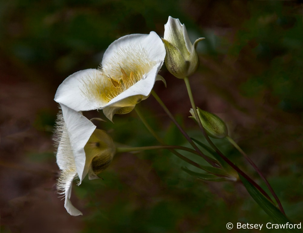 Sego lily (Calochortus nuttallii) Tubbs Hill, Coeur d'Alene, Idaho