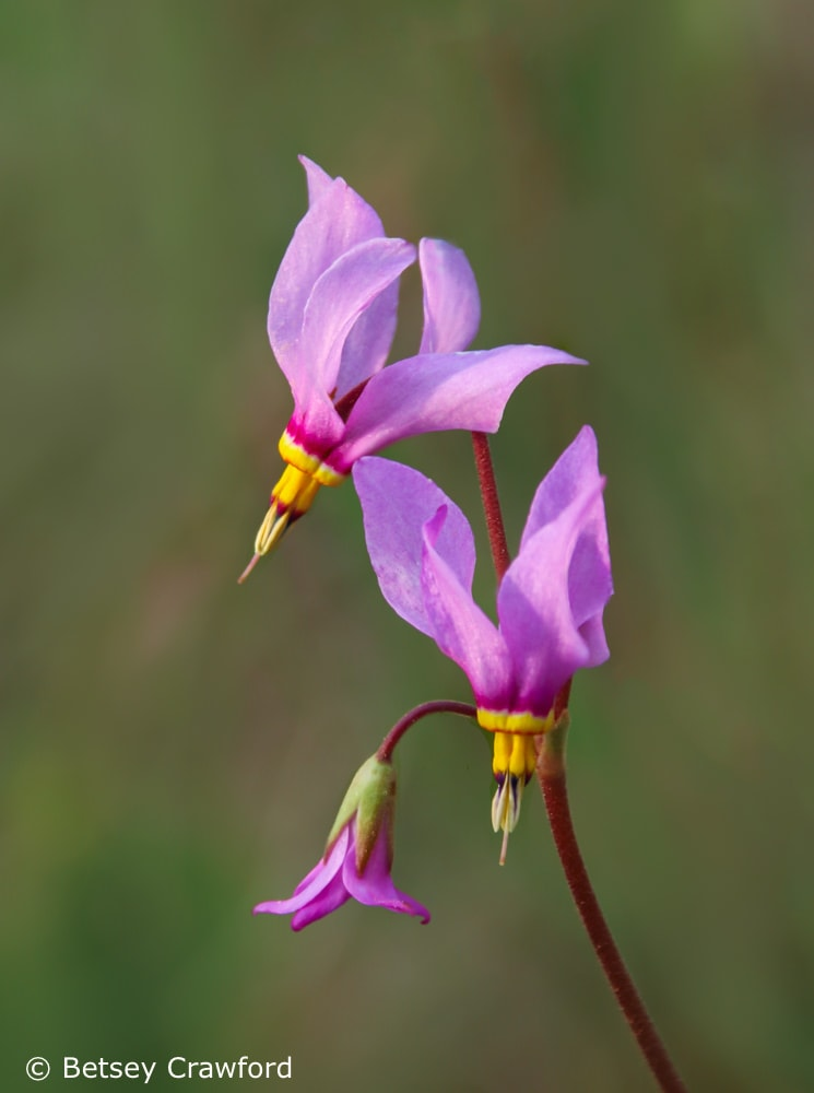 Shooting star (Dodecatheon pulchellum) Tubbs Hill, Coeur d'Alene, Idaho