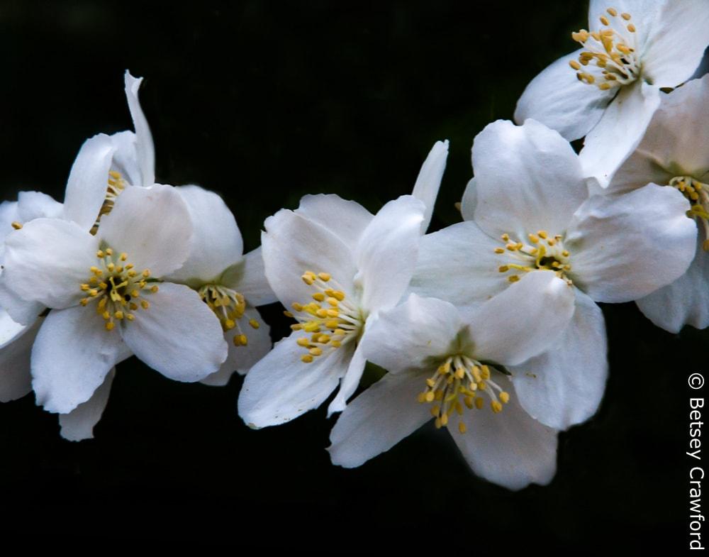 Syringa (Philadelphus lewisii) Coeur d'Alene, Idaho