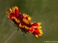 Blanket flower (Gaillardia aristata) Kootenai Wildlife Refuge, Bonner, Idaho