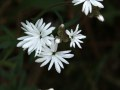 Woodland star (Lithophragma parviflorum) in Coeur d'Alene, Idaho