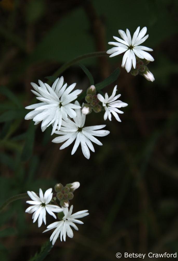 Woodland star (Lithophragma parviflorum) in Coeur d'Alene, Idaho