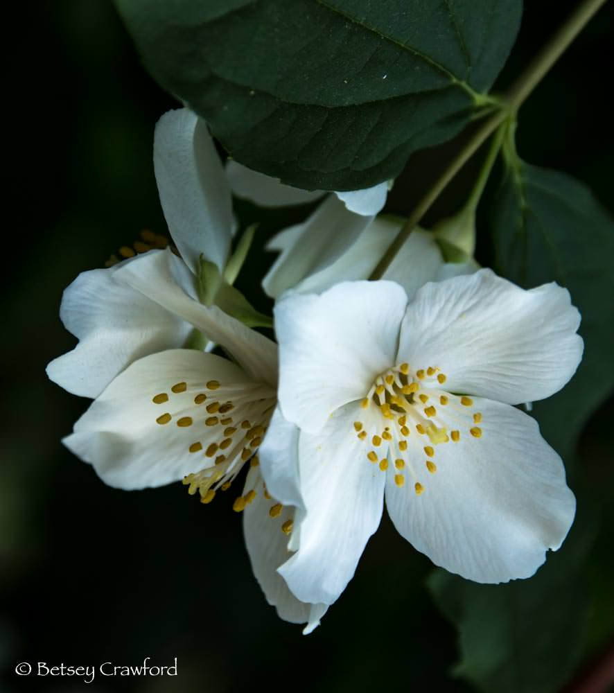 California mock orange (Philadelphus lewisii)in a native plant garden in El Sobrante, California