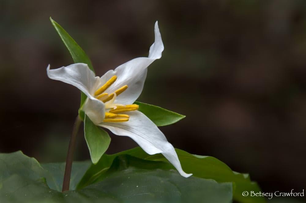 Pacific trillium (Trillium ovatum), Baltimore Canyon, Larkspur, California