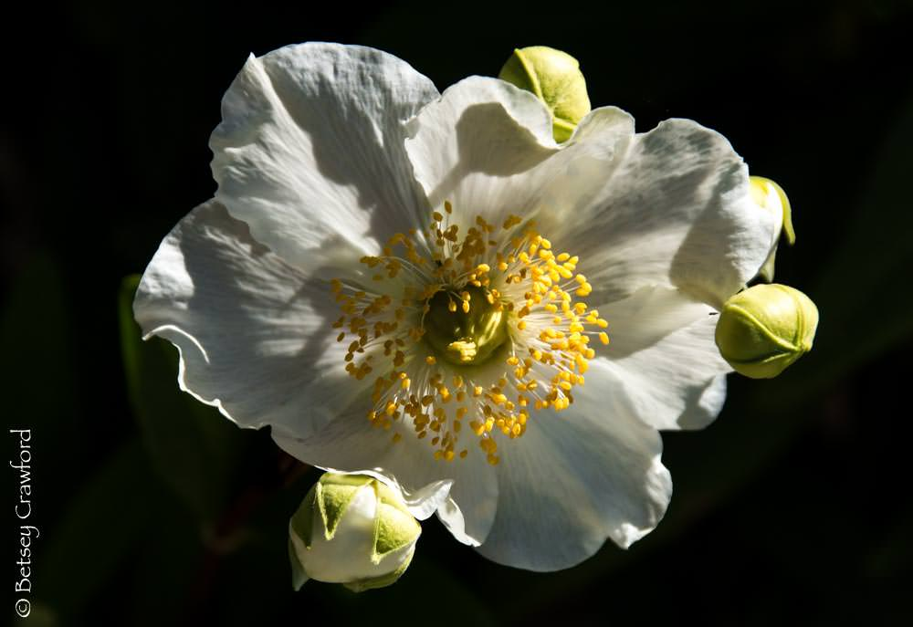 Bush anemone (Carpenteria californica) in a native plant garden in San Ramon, California