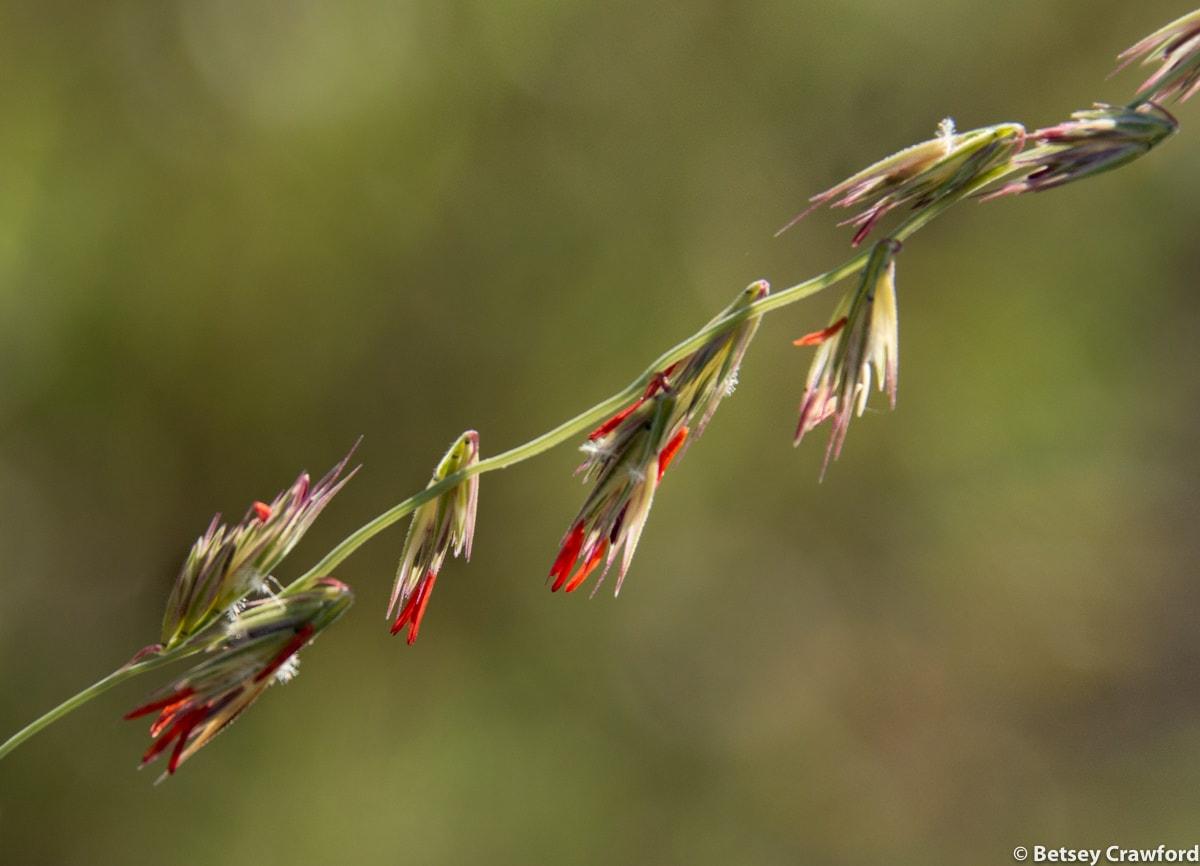 Side-oats gramma )Bouteloua curtipendula) Osceola, Missouri