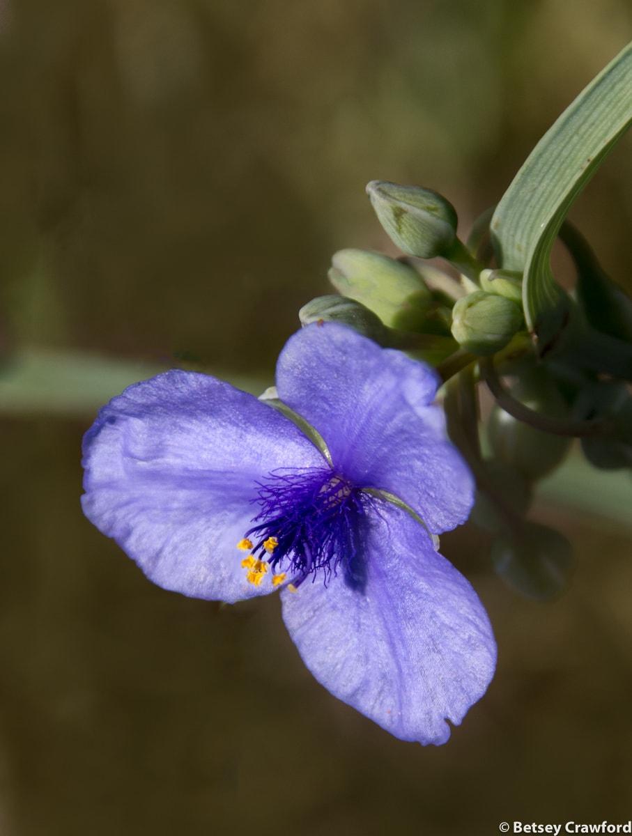 Spiderwort (Tradescantia ohioensis) Osceola, Missour