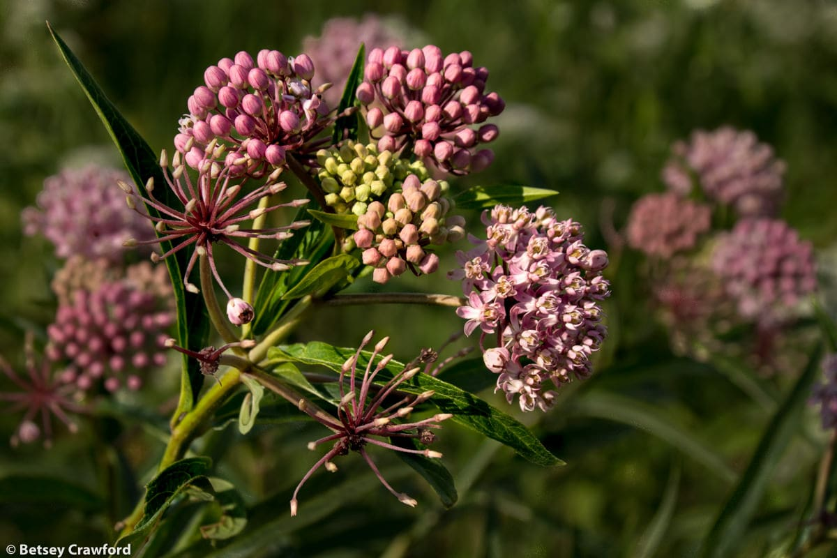 Swamp milkweed (Asclepias incarnata) at Golden Prairie, Golden City, Missouri