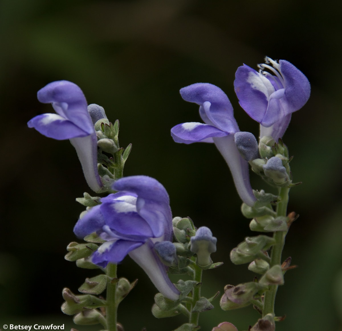 helmet-flower-scutellaria-integrifolia-Osceola-Missouri-by-Betsey-Crawford