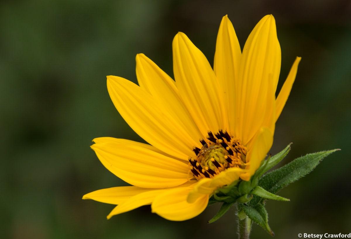 woodland-sunflower-heliantus-strumosus-Osceola-Missouri-by-Betsey-Crawford