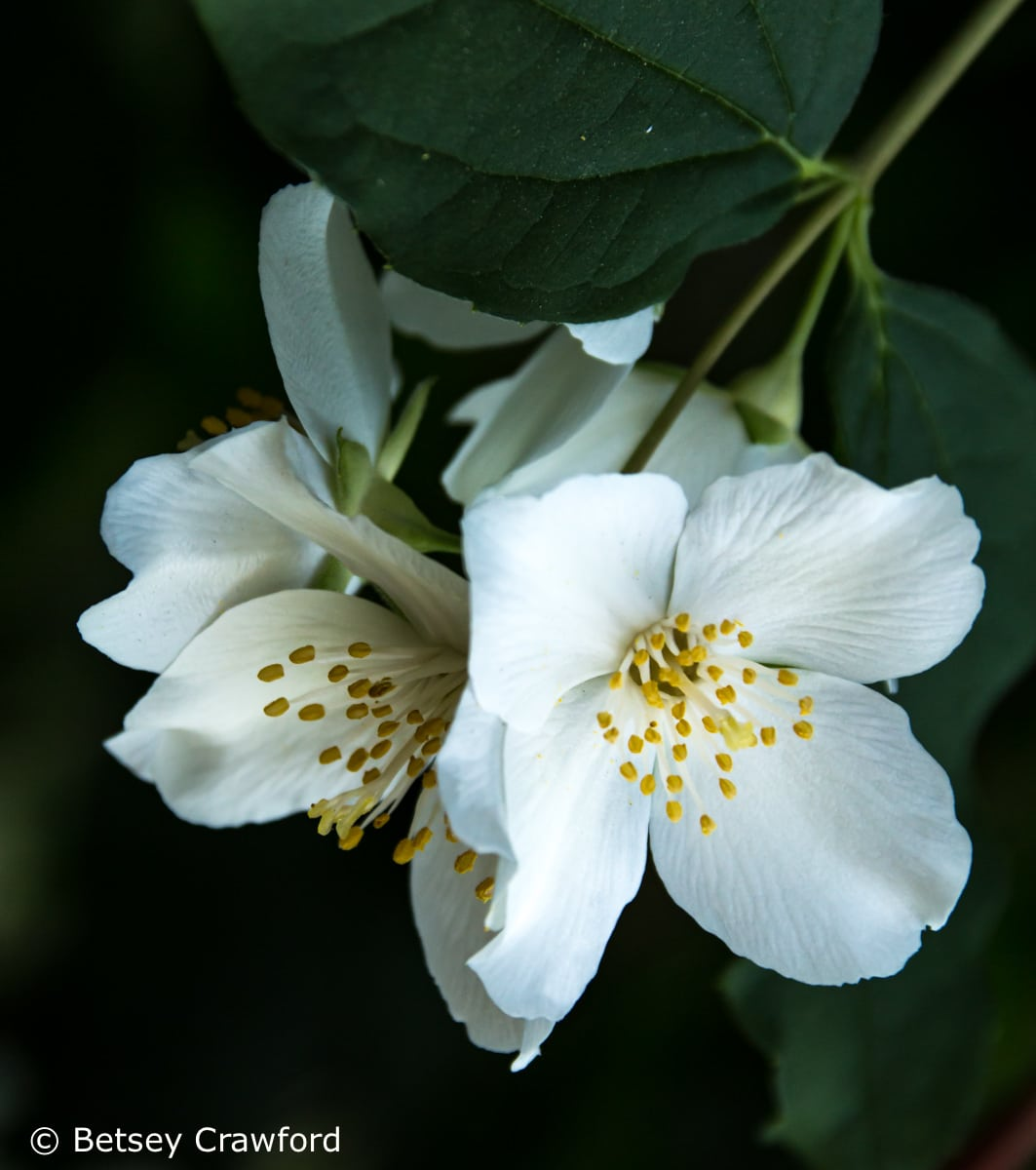 California mock orange (Philadelphus lewisii) in a native plant garden in El Sobrante, California