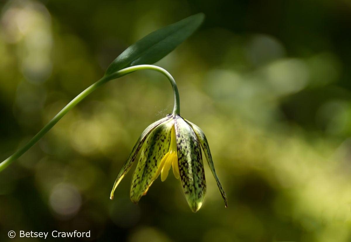 Checker lily (Fritillaria affinis) Coeur d'Alene, Idaho
