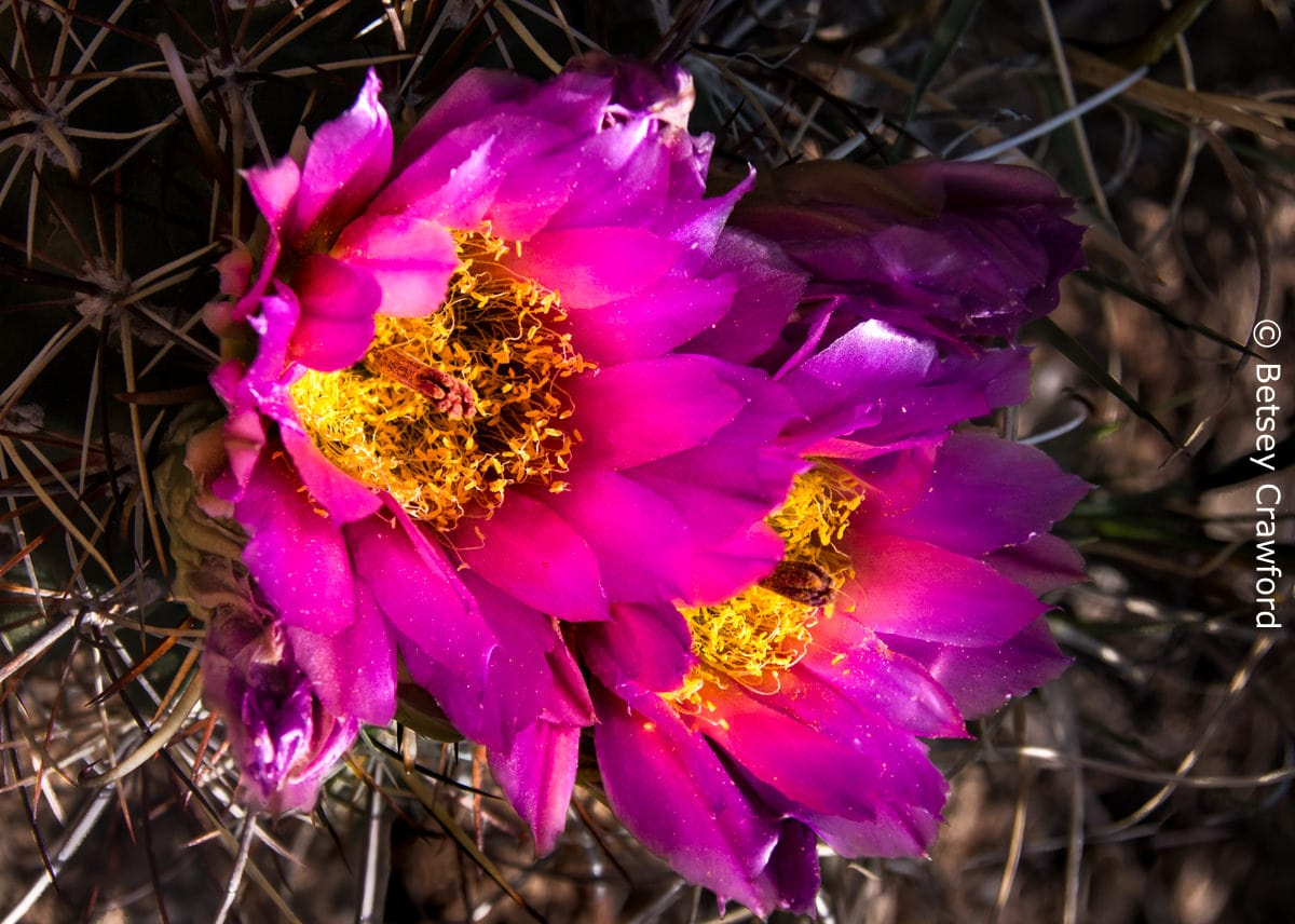 Strawberry hedgehog cactus (Echinocereus stramineus) Cross Canyon, Colorado