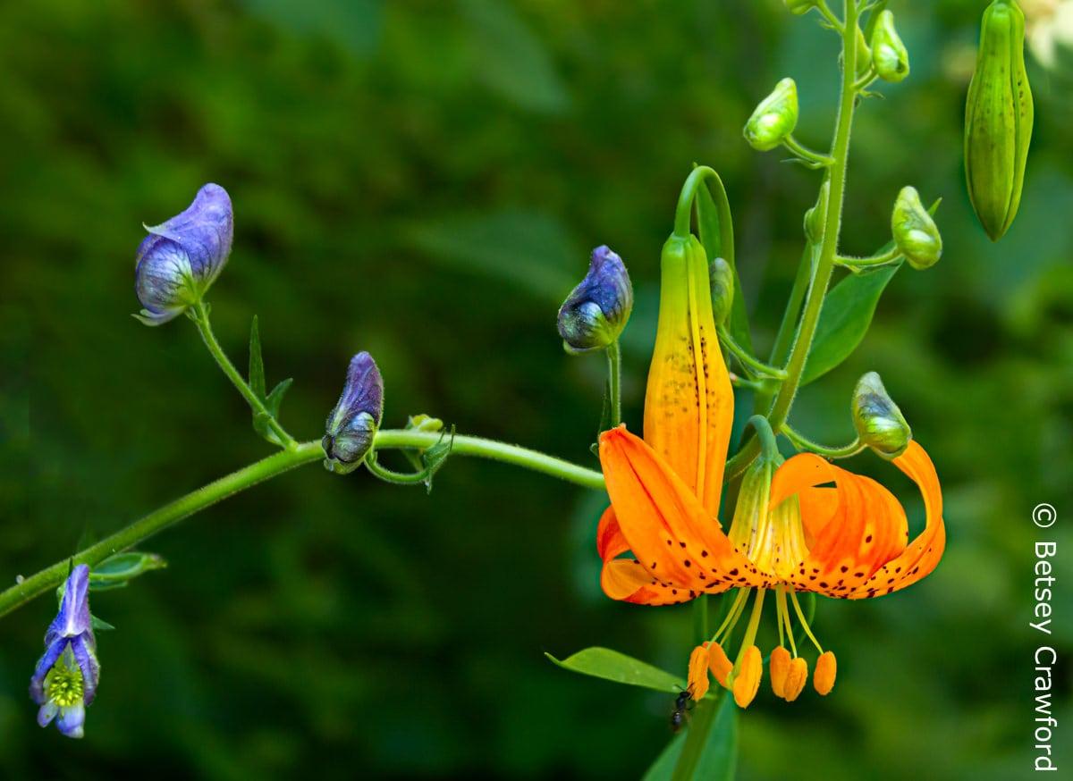 Leopard lily (Lilium pardalinum) captures a monkshood (Aconitum columbianum) Sierra Nevada Mountains, California