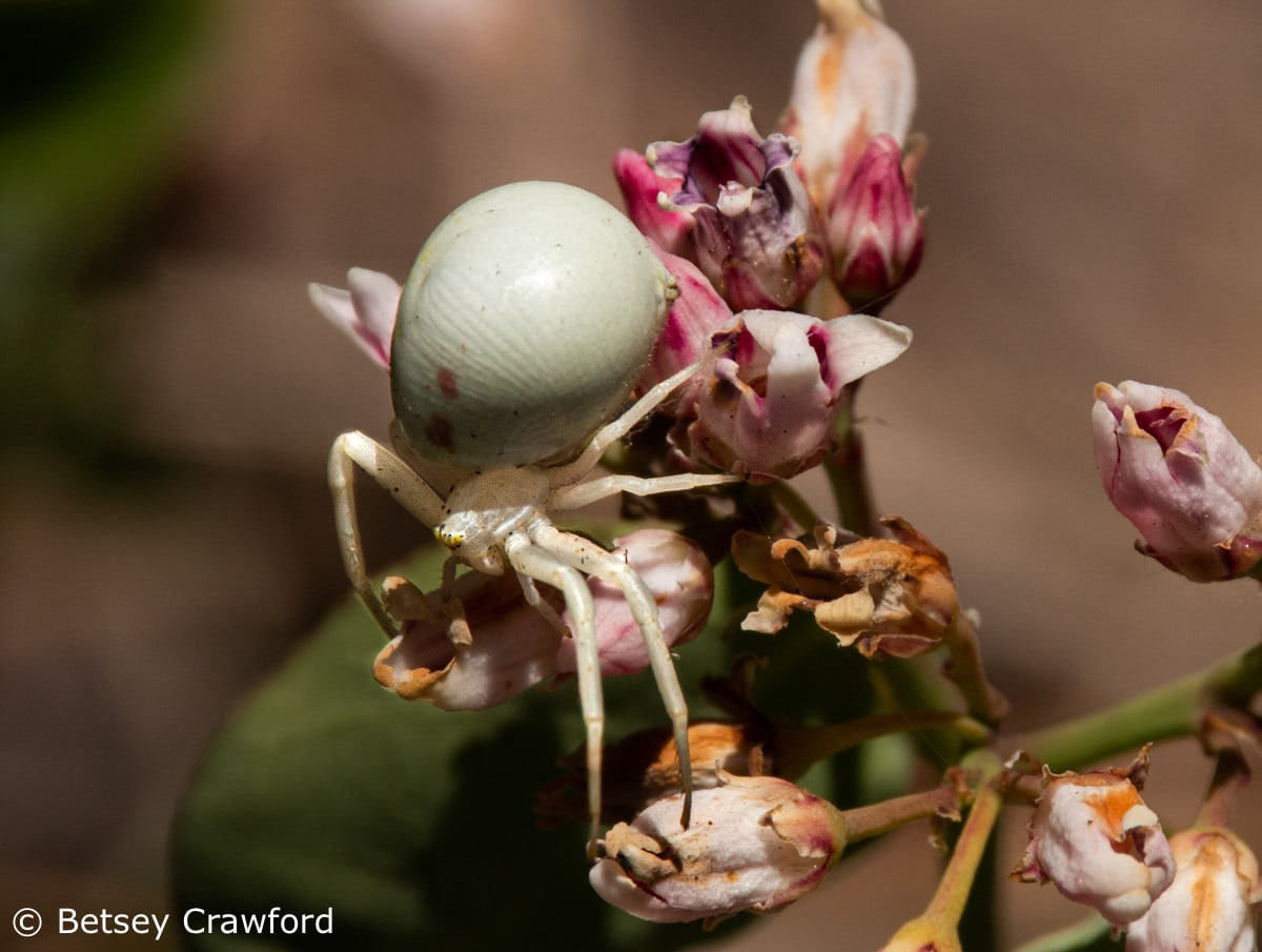 Crab spider (Mesumena vatia) on spreading dogbane (Apocynum androsaemifolium) Sierra Nevada Mountains, California