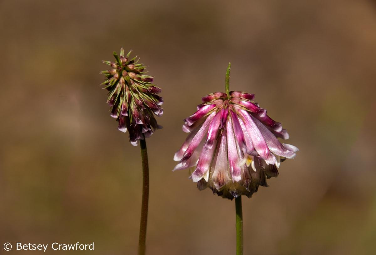 Productive clover (Trifolium productum) Sierra Nevada Mountains, California