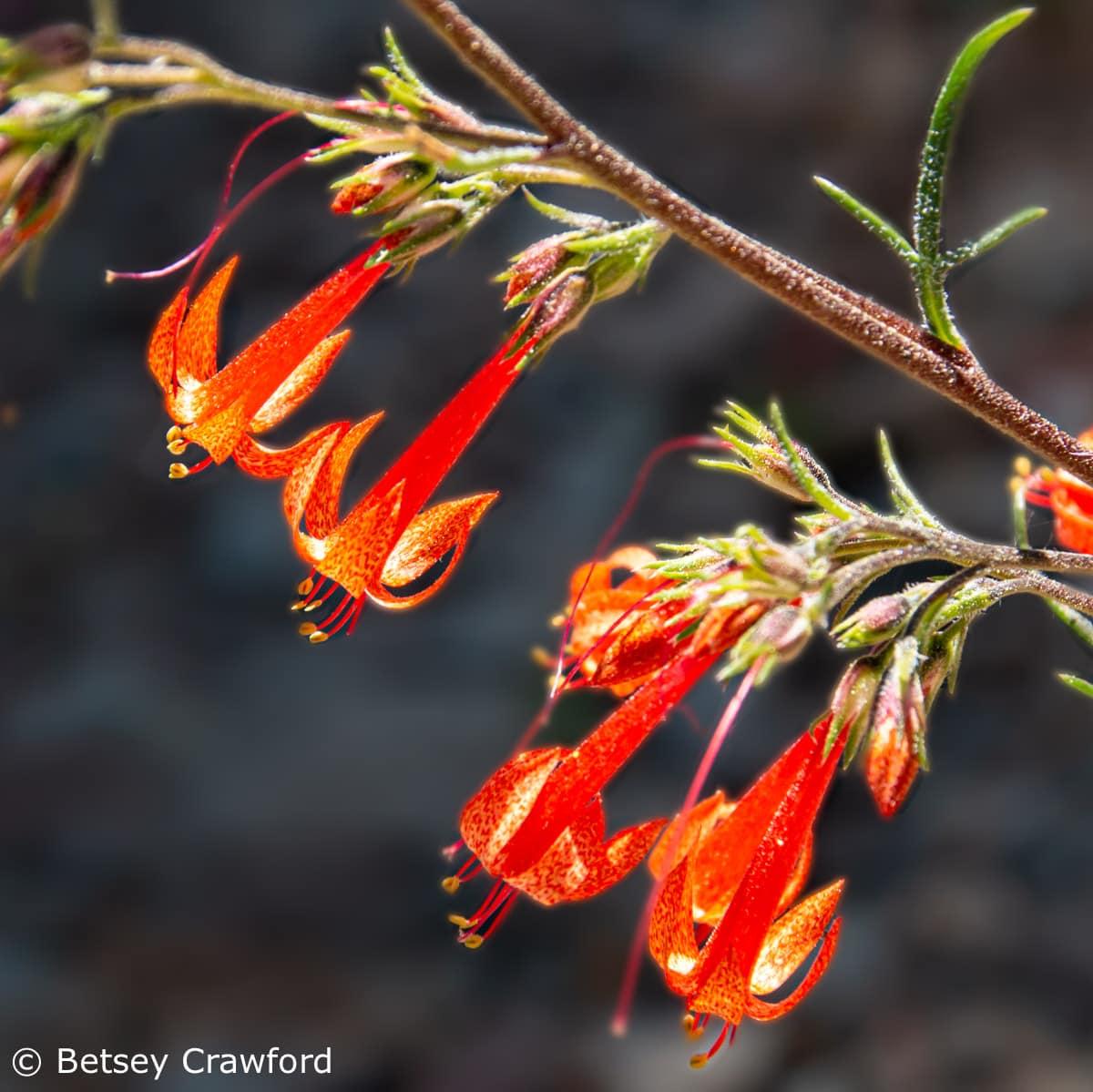Scarlet gilia (Ipomposis aggregata) Sierra Nevada Mountains, California