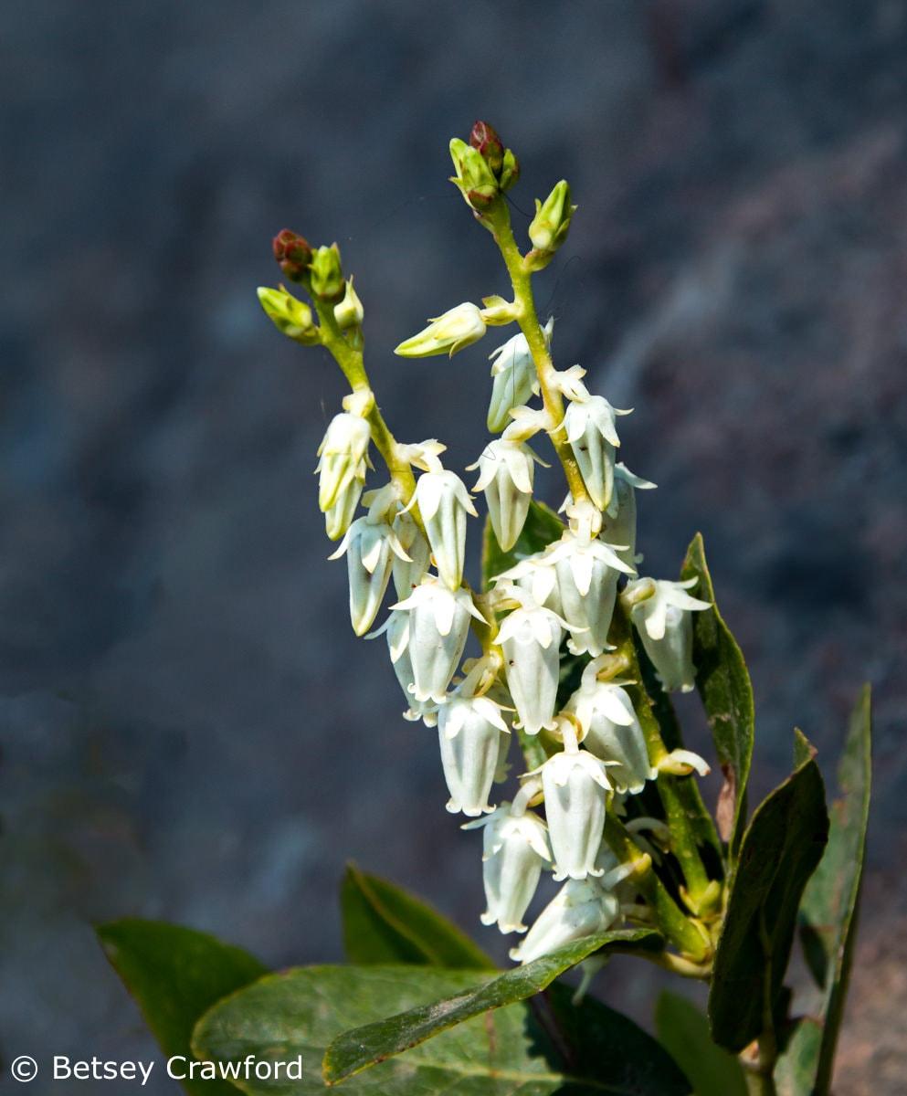 Sierra laurel (Leucothoe davisiae) -Scarlet gilia (Ipomposis aggregata) budSierra Nevada Mountains, California