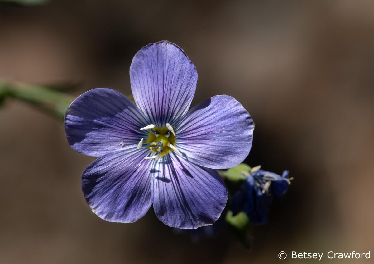 Western blue flax (Linum lewisii) Scarlet gilia (Ipomposis aggregata) budSierra Nevada Mountains, California