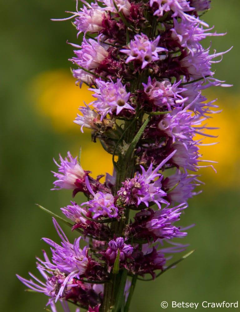 Blazing star (Liatris spicata) Schwarz Prairie, Osceola, Missouri