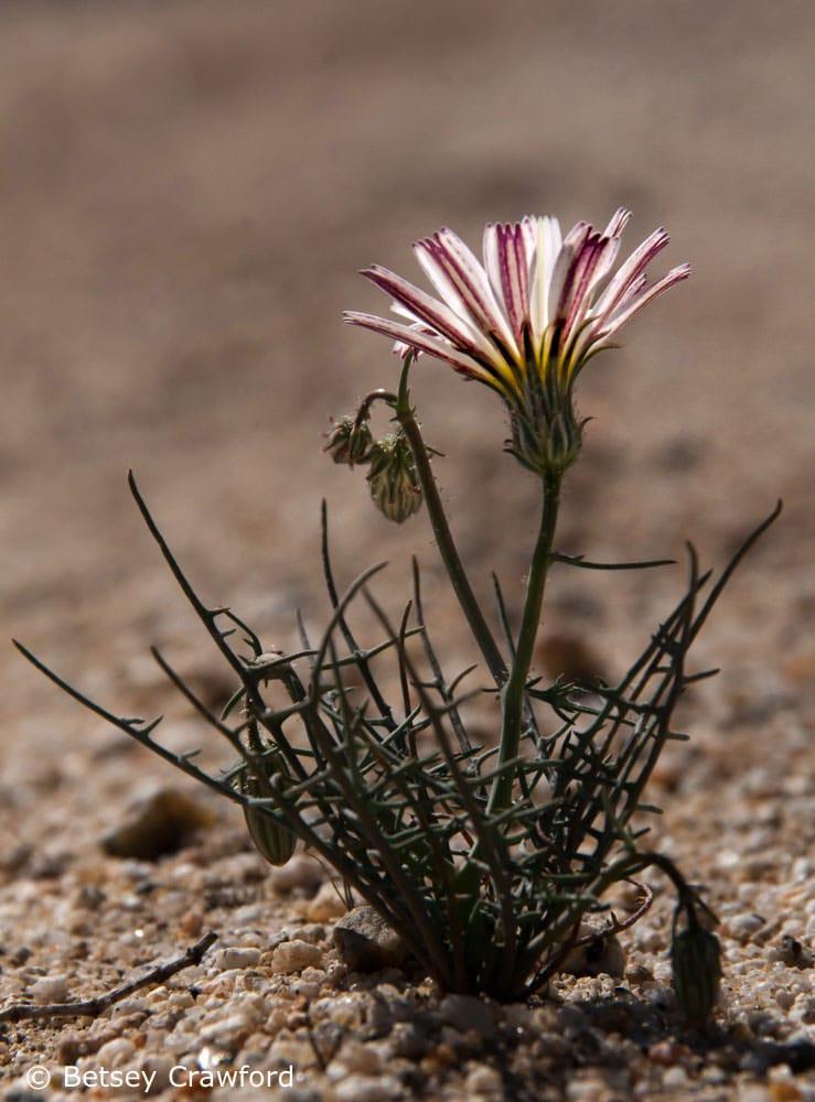 Desert chicory (Rafinesquia neomexicana) Anza Borrego Desert, southern California
