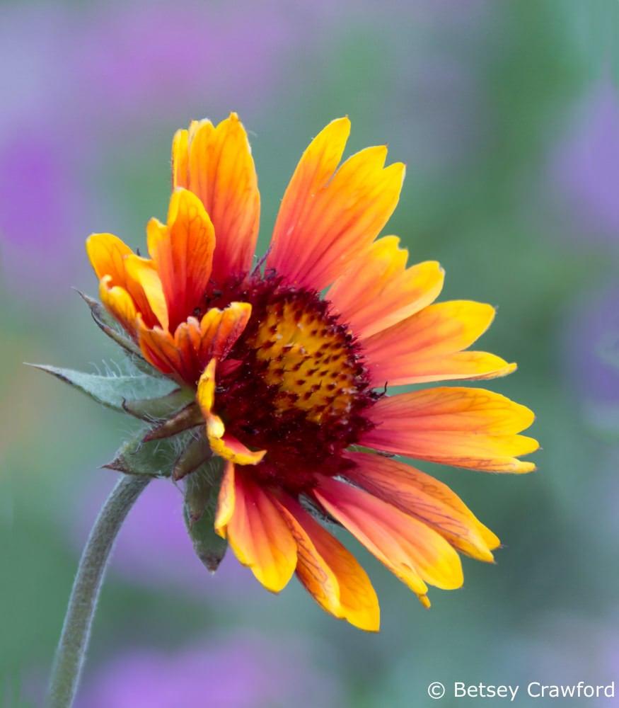 Blanket flower (Gaillardia pulchella) bud, Coeur d Alene, Idaho