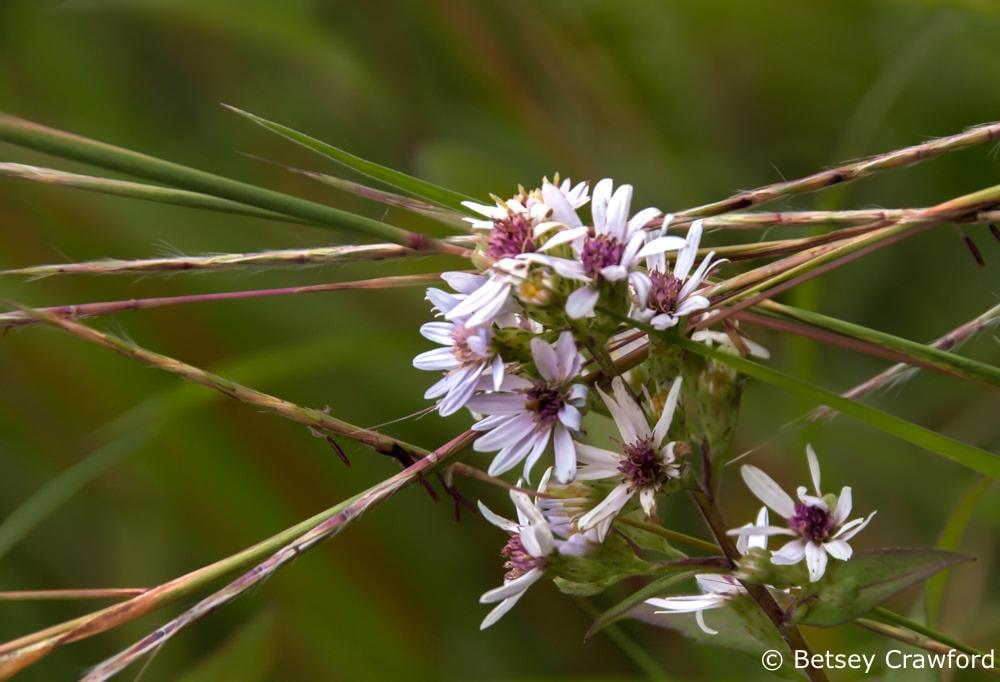Hairy aster (Aster pilosus) Curtis Prairie, Madison, Wisconsin-
