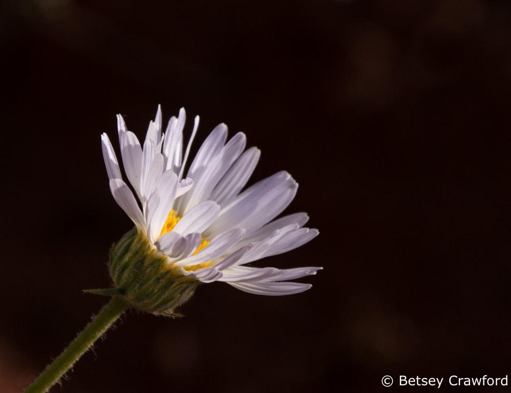 Silver fleabane (Erigeron argentatus) Snow Canyon State Park, Saint George, Utah