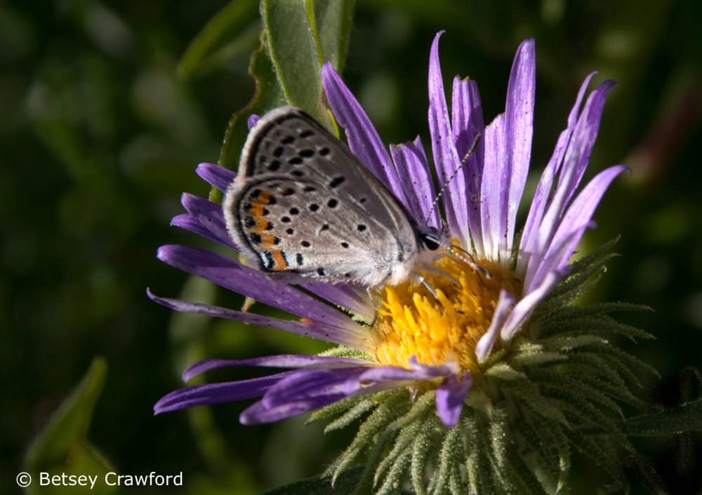 Tansy aster (Machaeranthera tanacetifolia) with butterly in Smoky Valley Ranch, a Nature Conservancy in western Kansas