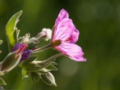 Sticky geranium (Geranium viscossimum) Waterton Lakes National Park, Alberta