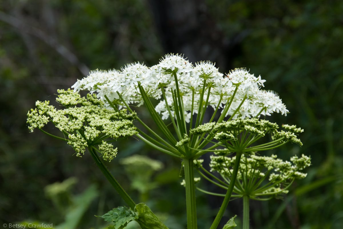 Cow parsnip (Heracleum lanatum) Waterton Lakes National Park, Alberta