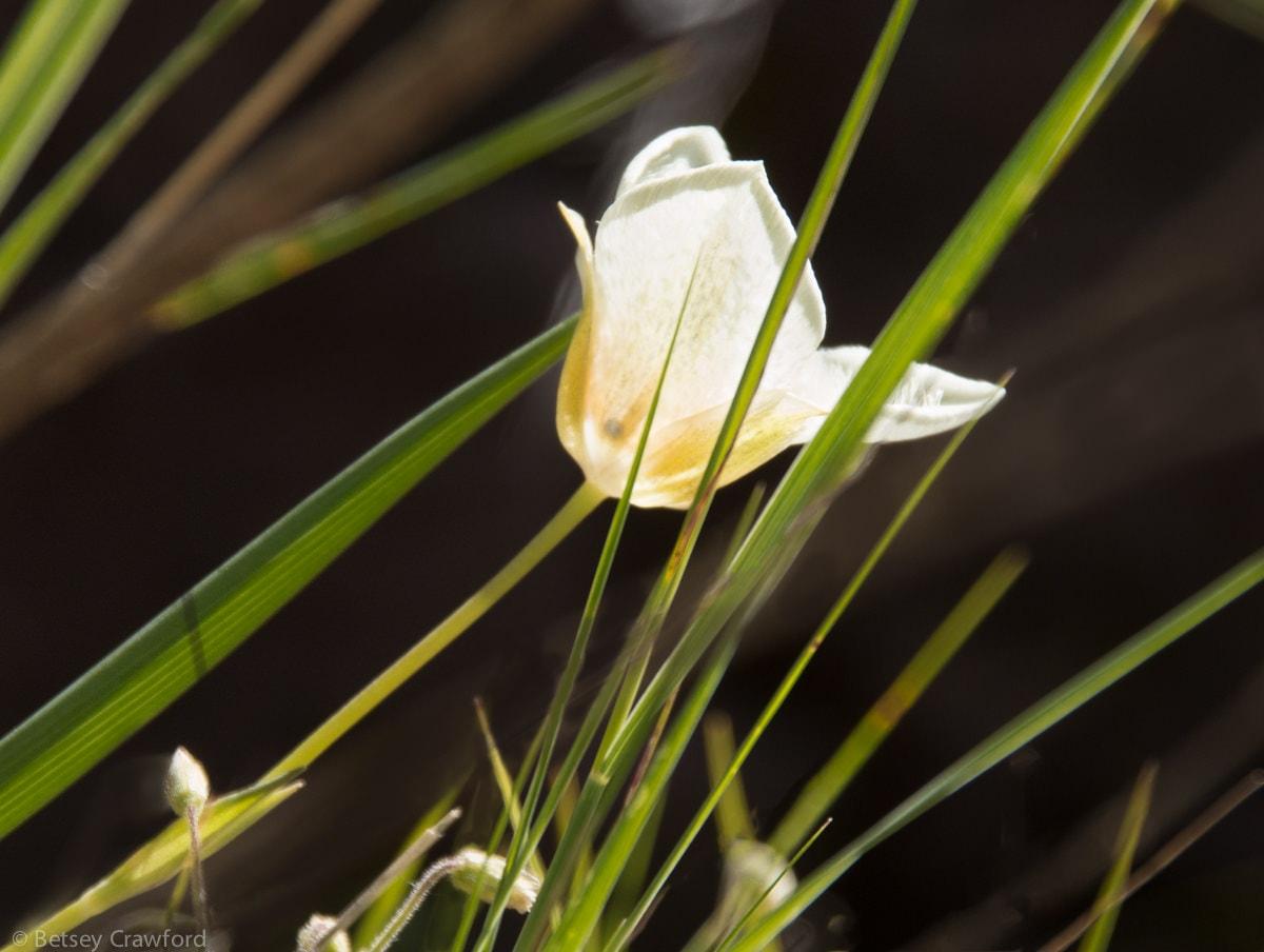 Mariposa lily (Calochortus apiculatus) Waterton Lakes National Park, Alberta