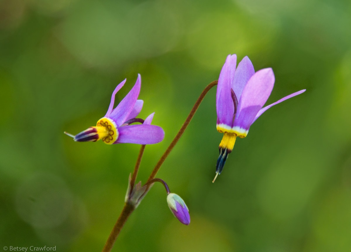Shooting star (Dodecatheon pulchellum) Waterton Lakes National Park, Alberta