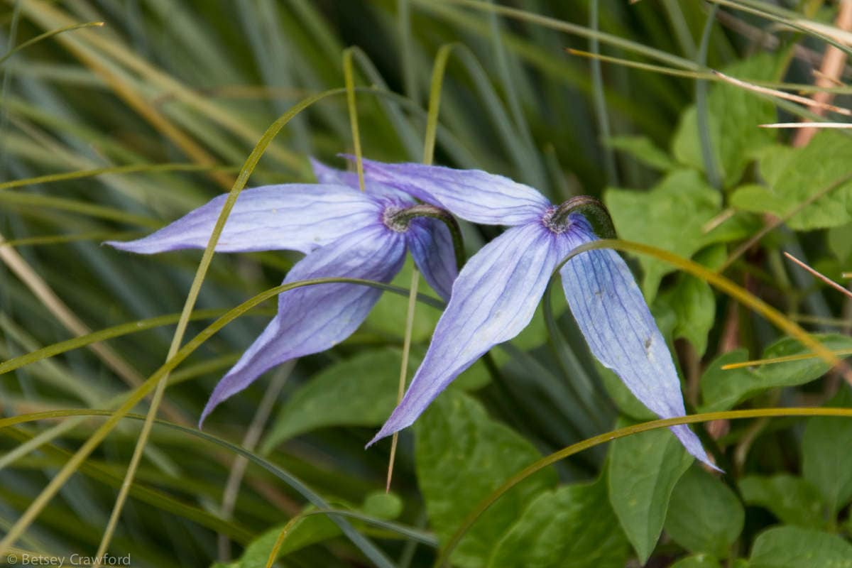 Western blue clematis (Clematis occidentalis) Waterton Lakes National Park, Alberta