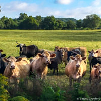 Wayside cows along a country road in Osceola, Missouri by Betsey Crawford
